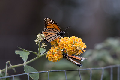 When the butterflies are awake and take to flight, they need to find a source of food right away.
