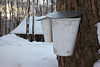 Collecting sap from maple trees. Currently dry since it's winter