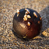 Encrusted kelp ball