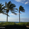 Beautiful row of palm trees blowing in the sea breeze