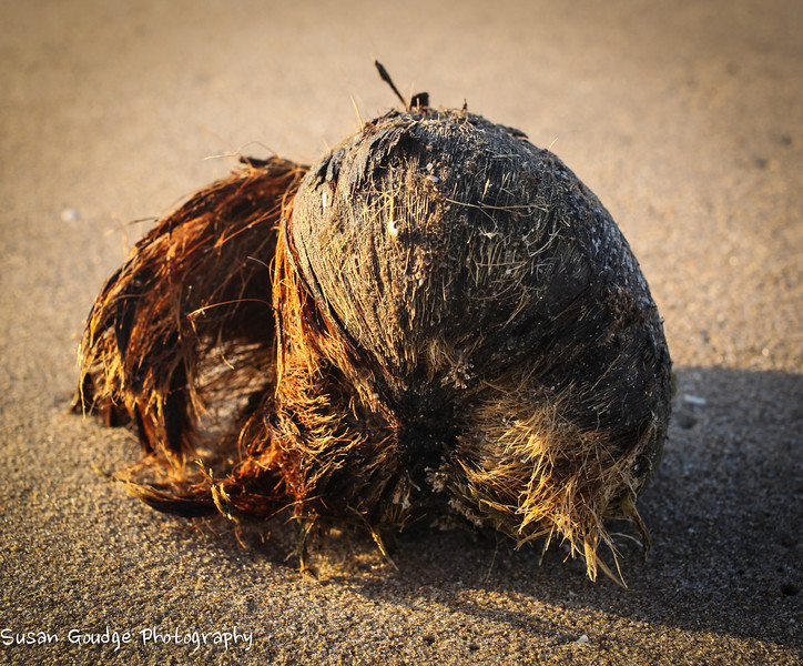 Coconut tossed to shore