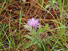 Spotted Knapweed in the a longleaf pine savanna