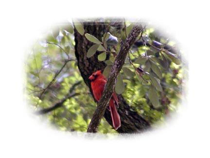 Cardinal in a tree at Brookgreen Gardens
