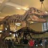 HUGE t-rex bones