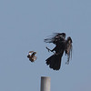 An Indian Myna and an Australian Raven go at it.