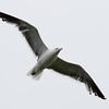Black-backed Gull (Kelp?)