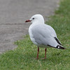 Red-billed Gull (Silver Gull in Australia)