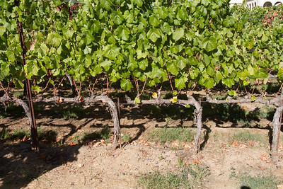 The pruning of the vines produces amazingly consistent results.