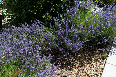 Lavender landscaping at WorldMark.