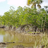 Mangroves, Everglades