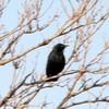 March 23, 2015 - (Nebraska Nature and Visitor Center [Entrance] / Alda, Hall County; Nebraska) -- Brewer's Blackbird