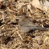 March 23, 2015 - (Nebraska Nature and Visitor Center [Entrance] / Alda, Hall County; Nebraska) -- Female Rusty Blackbird