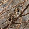 March 23, 2015 - (Nebraska Nature and Visitor Center [Entrance] / Alda, Hall County; Nebraska) -- Harris's Sparrow