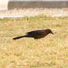 Great-tailed Grackle @ Sunset Park