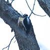 Hairy Woodpecker (Male) @ Zion Lodge in Zion NP
