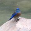 Western Bluebird @ Virgin River in Zion NP