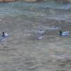 Mallards (2 Pair) in Virgin River @ Zion NP