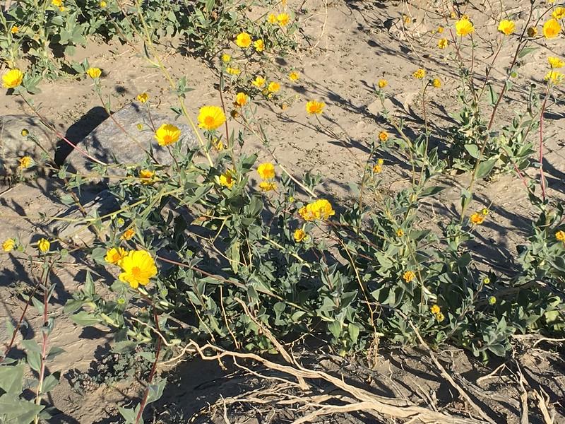 Desert Sunflower (Geraea canescens) @ Death Valley NP