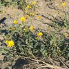 Desert Sunflower (Geraea canescens) @ Death Valley NP