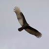 Turkey Vulture @ Clark County Wetlands Park