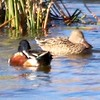 Nothern Shoveler (Pair) @ Clark County Wetlands Park