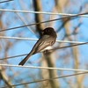 Black Phoebe @ Clark County Wetlands Park