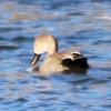 Gadwall @ Clark County Wetlands Park