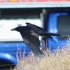 Common Raven @ Manzanar National Historic Site
