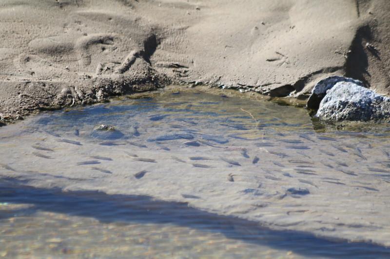 Pup Fish @ Salt Creek Interpretive Trail in Death Valley NP