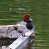Redhead (Male) @ Sunset Park