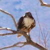 Red-tailed Hawk @ Eastern Sierra Interagency Visitor Center