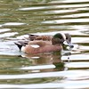 American Wigeon (Pair) @ Sunset Park