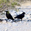 Common Ravens @ Mesquite Flat Sand Dunes in Death Valley NP