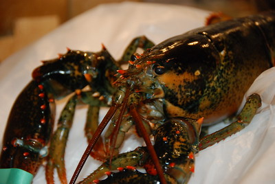 Lobsters don't turn red until they're cooked.