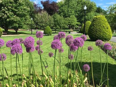 Allium Hollandicum @ Boston Commons