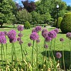 Allium Hollandicum @ Boston Commons