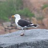 Great Black-backed Gull @ Eastern Point Wildlife Sanctuary