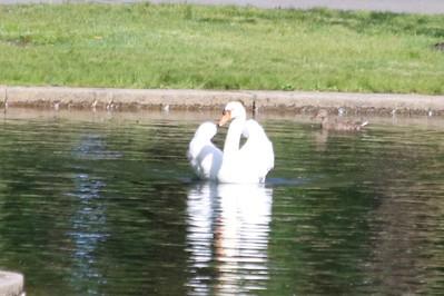 Mute Swan @ Boston Common