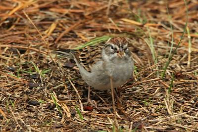 Chipping Sparrow @ Wellfleet Bay WS