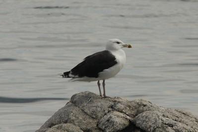 Greater Black-backed Gull @ Sherwood Island SP