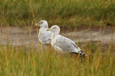 Herring Gulls @ Wellfleet Bay WS