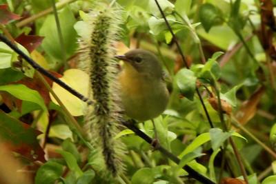 Common Yellowthroat (Female) @ Assabet River NWR