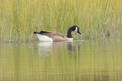 Canada Goose @ Sherwood Island SP