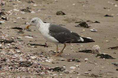 Lesser Black-backed Gull @ Sherwood Island SP