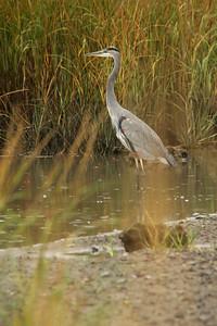 Great Blue Heron @ Wellfleet Bay WS