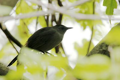 Gray Catbird @ Sherwood Island SP