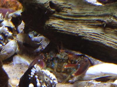 Blue Lobster in Visitor Center @ Wellfleet Bay WS