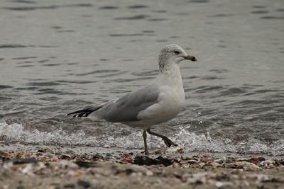 Ring-billed Gull @ Sherwood Island SP