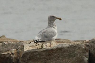 Herring Gull (Sub-Adult) @ Sherwood Island SP