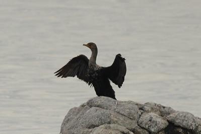 Double-crested Cormorant @ Sherwood Island SP